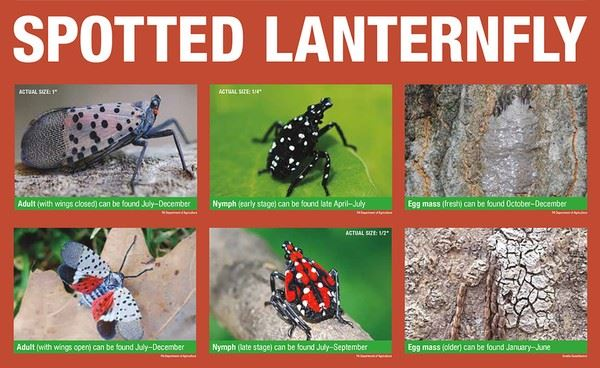 spotted-lanterfly-lifecyclejpg-543559d6b2821182